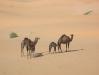 Algeria- cammelle con i loro piccoli