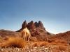 Algeria-cammello