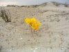 Cile-deserto fiorito