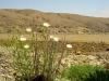 Fiori nel deserto-America del sud