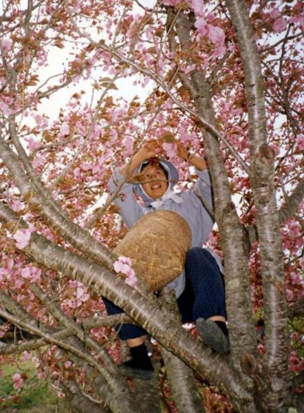Giappone- alberi di ciliegi