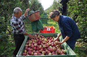 Tre sorelle nella raccolta di mele