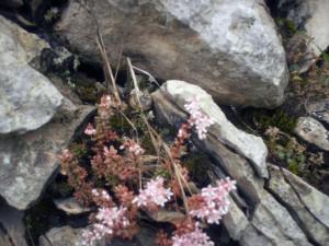 Fiore tra le rocce- Breonio