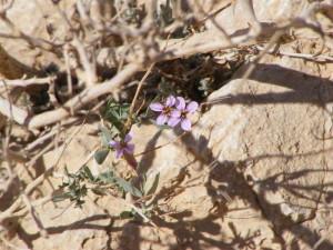 fiore tra le rocce- Neghev